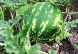 Eine Wassermelone am Strauch auf dem Boden
