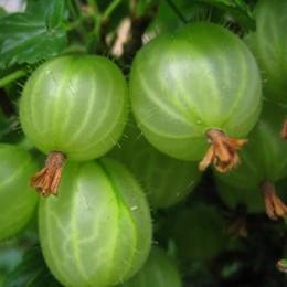 Grüne Stachelbeeren