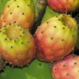 Die Kaktusfeige