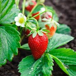 Erdbeerpflanze
