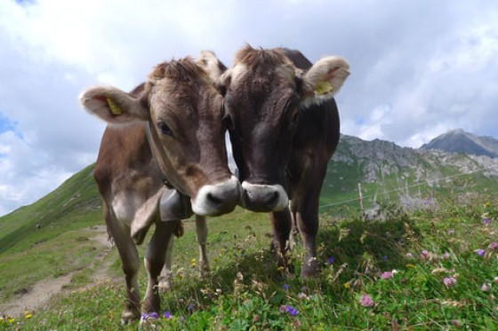 Weltgenusserbe Bayern Kühe