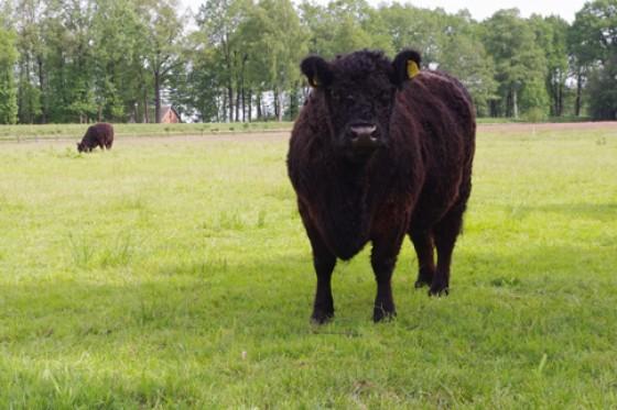 Galloways wie Kuh vom Hof Wümmetal sind echte Persönlichkeiten.