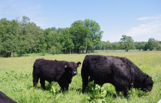Die jungen Bullen leben auf einer separaten Weide.