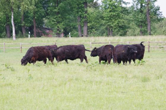 Galloways sind gesellige Tiere und müssen im Herdenverband gehalten werden.