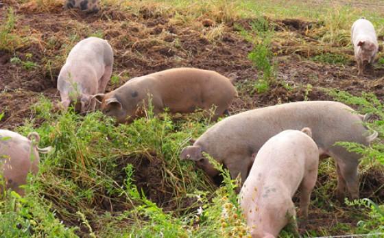 Landschweine Landwerthof