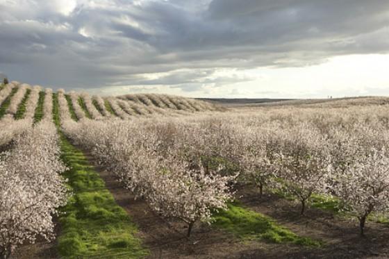 Mandelblüte Kalifornien Feld