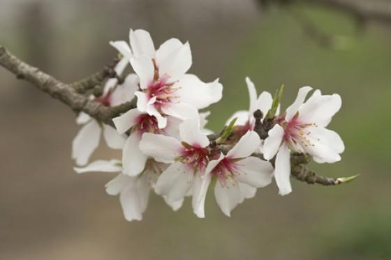 Mandelblüte Kalifornien Blüte