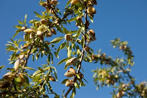 Mandeln Kalifornien Kerne reifen
