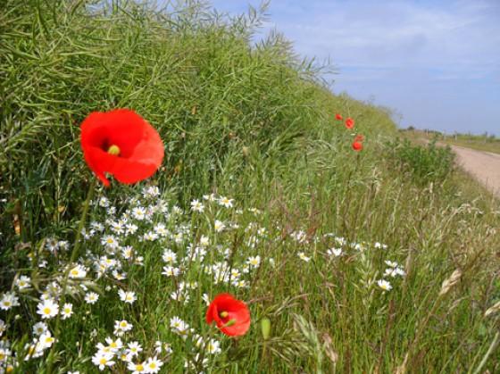 Amrum Blumen