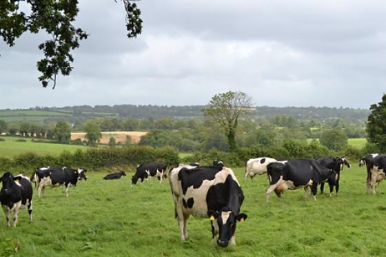 Irland Kühe