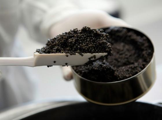 Abfüllung des eben gesalzenen Kaviars