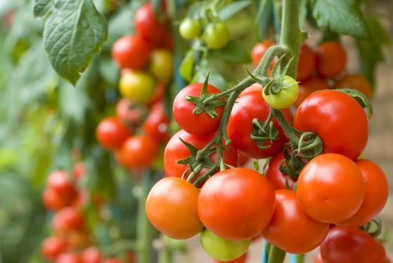 Tomatenpflanze Shutterstock 49492744