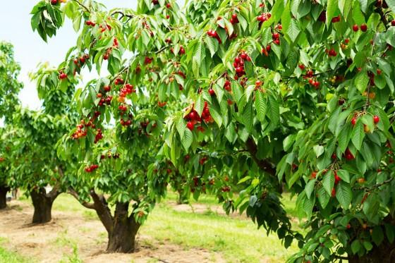Bald reif für die Ernte: Kirschbäume tragen viele Früchte