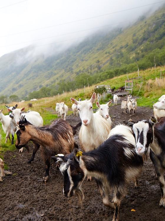 Norwegen-Lofoten-Ziegenhof-Aalan-Gard-Ziegen-kulinarische-Reise