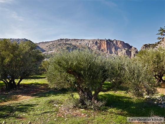 kulinarische-Reise-Kreta-Olivenbaum