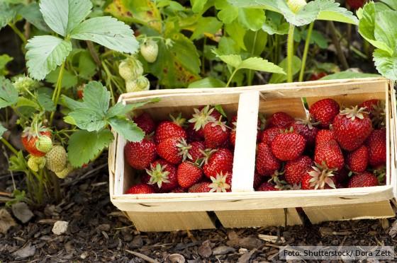 Erdbeerfeld-mit-Erdbeerkorb