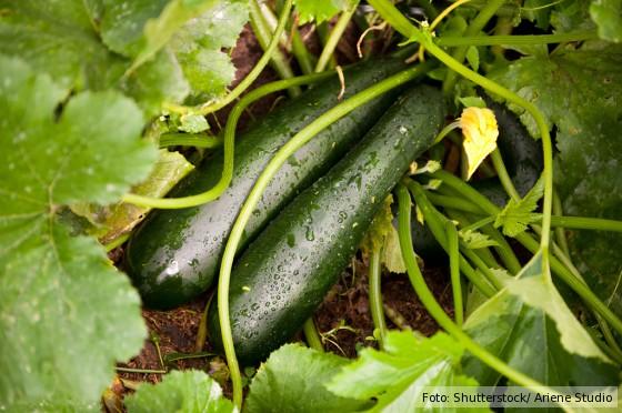 grüne Zucchini im Beet