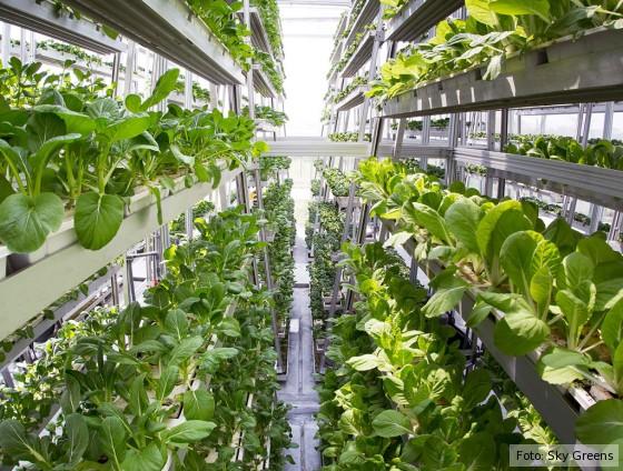 In einem Gewächshaus in Singapur wachsen Salate in einem Etagen-Gewächshaus.